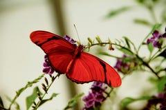 Flambeau skrzyknący pomarańczowy heliconian motyl obrazy royalty free