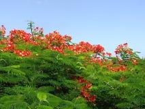 flamboyan kwiaty Obrazy Stock