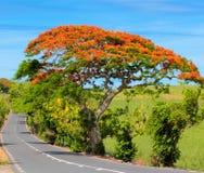 Flamboyant. Beautiful flamboyant tree bloom in Mauritius Royalty Free Stock Image
