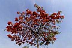 Flamboyant bekroond met rode bloemen, over blauwe hemel royalty-vrije stock afbeelding