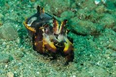 Flamboyant bläckfisk i Ambon, Maluku, Indonesien undervattens- foto Arkivfoto