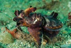 Flamboyant bläckfisk i Ambon, Maluku, Indonesien undervattens- foto Royaltyfri Bild