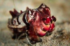 Flamboyant bläckfisk - Metasepia pfefferi Royaltyfri Foto