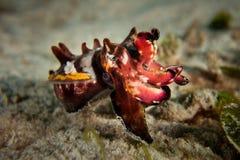 Flamboyant bläckfisk - Metasepia pfefferi Arkivbilder