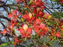 Flamboyant bloem Royalty-vrije Stock Foto's