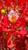 Flamboyant blomma Arkivfoto