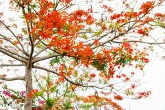 Flamboyant blommaträd med ljus bakgrund Arkivfoton