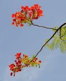 Flamboyant blooming at the summetime in Haiphong Stock Image