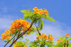 Flamboyant. With blue sky background Stock Image