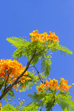 Flamboyant. With blue sky background Royalty Free Stock Photo