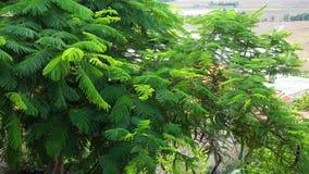 Flamboyant bomen bij het bos van Tra Su in Mekong Delta, Vietnam stock videobeelden