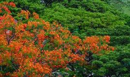 Flamboyant bomen en bloemen Phoenix Royalty-vrije Stock Foto's