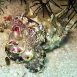 Flamboyant Cuttlefish Royalty Free Stock Images