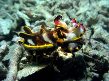 Flamboyant cuttlefish Royalty Free Stock Photography