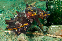 Flamboyant cuttlefish in Ambon, Maluku, Indonesia underwater photo Stock Photography
