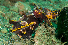 Flamboyant cuttlefish in Ambon, Maluku, Indonesia underwater photo Stock Image