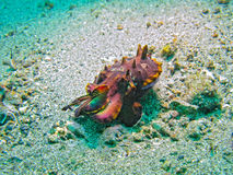 Flamboyant Cuttlefish, Lembeh Strait, Indonesia Royalty Free Stock Photos