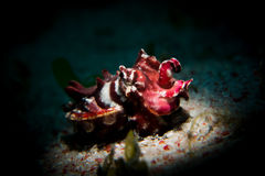 A Flamboyant Cuttlefish - Metasepia pfefferi. A brightly coloured and highly poisonous Flamboyant Cuttlefish - Metasepia pfefferi - walks across the sand looking Royalty Free Stock Image