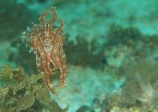 Flamboyant cuttlefish Royalty Free Stock Image