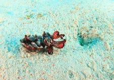 Flamboyant cuttlefish Stock Images