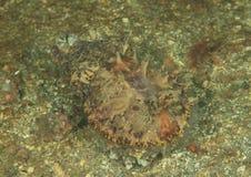 Flamboyant cuttlefish Stock Image