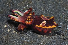 Flamboyant cuttlefish Royalty Free Stock Photos