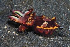 Flamboyant cuttlefish. (Metasepia pfefferi) in the tropical waters indonesia Royalty Free Stock Photos