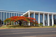 Flamboyant - delonix regia. A typical Brasilia's Flamboyant, a beautiful tree in front of the court of Brasília Royalty Free Stock Photography