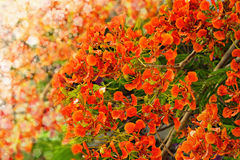 Flamboyant or Delonix Regia Royalty Free Stock Images