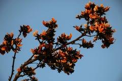 Flamboyant of Delonix Regia in een tropische tuin Tot bloei komende knoppen Stock Foto