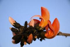 Flamboyant of Delonix Regia in een tropische tuin Tot bloei komende knoppen Royalty-vrije Stock Fotografie