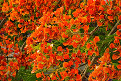 Flamboyant or Delonix Regia Stock Photos