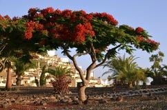 (Flamboyant) flammaträd, Royaltyfri Fotografi