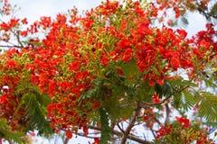 Flamboyant flammaträdet, kungliga Poinciana, påfågelblomma Arkivbild