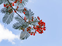 Flamboyant flower against blue sky Stock Images