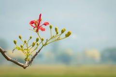 Flamboyant flower Stock Image