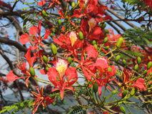 Flamboyant Flower. The flower of the Flamboyant tree in Portsmouth, Dominica Royalty Free Stock Photos