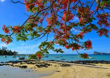 Flamboyant flowers blooming at the park. Flamboyant flowers blooming at the seaside park in Cap Malheureux, Mauritius Stock Image