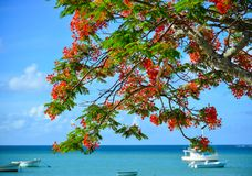 Flamboyant flowers blooming at the park. Flamboyant flowers blooming at the seaside park in Mauritius Royalty Free Stock Photography