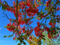 Flamboyant flowers blooming at the park. Flamboyant flowers blooming under blue sky in Cap Malheureux, Mauritius Stock Image