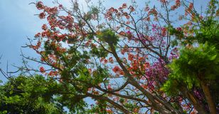 Flamboyant flowers blooming at the park royalty free stock photos