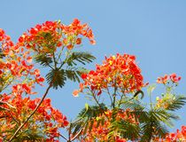 Flamboyant Flowers Stock Images