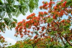Flamboyant flowers Stock Photo