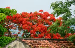 Flamboyant flowers blooming in summer Royalty Free Stock Photos