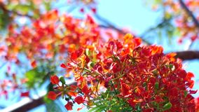 Flamboyant flowers and wind stock video