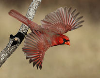 Flamboyant Flyboy. Northern Cardinal at the moment of take-off, with full wing spread Stock Photography
