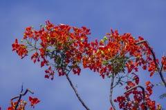 Flamboyant har fem kronblad som är röda till apelsinen royaltyfri bild