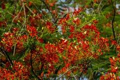 Flamboyant har fem kronblad som är röda till apelsinen royaltyfri fotografi