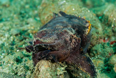 Flamboyant inktvissen in Ambon, Maluku, de onderwaterfoto van Indonesië Royalty-vrije Stock Afbeelding