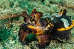 Flamboyant inktvissen in Ambon, Maluku, de onderwaterfoto van Indonesië Royalty-vrije Stock Foto